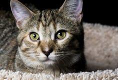 Tabby Pet image libre de droits