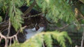 Tabby pet cat hiding in undergrowth with vivid yellow eyes. Tabby domestic pet cat / Felis silvestris catus with white chin hiding in undergrowth with sharp stock photography