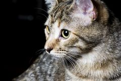Tabby Pet Royalty Free Stock Photography