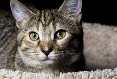 Tabby Pet Royalty Free Stock Image