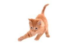 Tabby Playing arancio Fotografie Stock Libere da Diritti