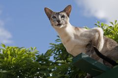 Tabby point Siamese against sky Royalty Free Stock Photos