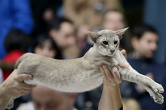 Tabby pointed siamese cat Stock Images
