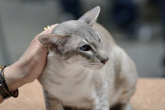 Tabby pointed siamese cat Stock Photography