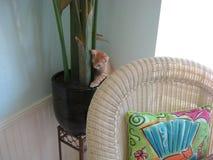 Tabby Polydactyl Kitten arancio in una piantatrice Fotografie Stock