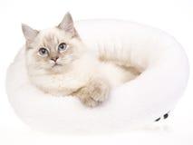 Tabby Ragdoll de Bluepoint dans le bâti blanc de fourrure Photo stock