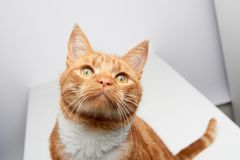 Handsome ginger tabby red cat sitting on a white table curiously looking up. royalty free stock photos