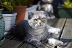 Tabby Scottish Fold cat lying on balcony Stock Images