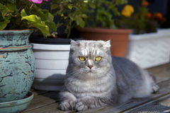 Tabby Scottish Fold cat lying on balcony Royalty Free Stock Images