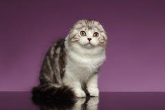 Tabby Scottish Fold Kitten Sits blanca en púrpura imagenes de archivo