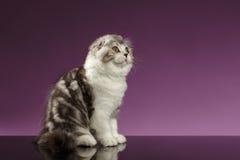 Tabby Scottish Fold Kitten Sits blanca y mirada para arriba fotografía de archivo libre de regalías
