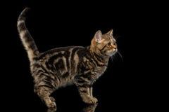 Tabby Scottish Kitten op Geïsoleerde zwarte achtergrond Stock Afbeelding