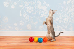 Tabby Siamese cat with vintage wall paper Royalty Free Stock Photos