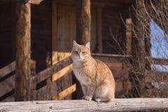 Tabby siedzący czerwony kot Zdjęcia Royalty Free