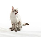 Tabby singing. Stock Images