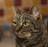 Tabby staring. Stock Photography