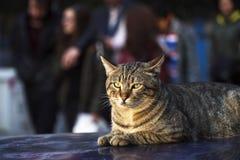 Tabby Stray Cat ligger på ett biltak Arkivfoton