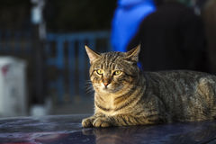 Tabby Stray Cat is Lying on A Cars Roof Stock Photos