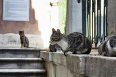 Tabby / striped stray cats. Royalty Free Stock Photo