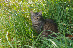 Tabby tat looking with interest while hiding in summer grass Royalty Free Stock Photo