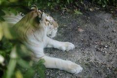 Tabby Tiger fotografering för bildbyråer