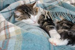 Tabby tomcat odpoczywać fryzował w górę błękitnej tartan wełny koc w fotografia stock