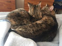 Tabby and Tortoiseshell Cat Siblings royalty free stock images