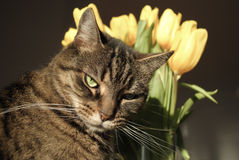 Tabby cat with tulips Stock Photography
