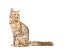 Tabby Turkish angora cat sitting looking back to the right seen from the side. Isolated on a white background royalty free stock image
