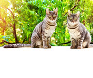 Tabby two cat sits on a white surface on a background of green l Stock Photo