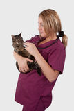 Tabby with Vet. Young blond woman vet wearing medical uniform scrubs holding and examining an adult tabby cat Royalty Free Stock Image