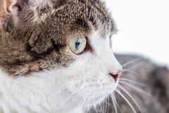Tabby white cat head Stock Photo