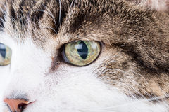 Tabby white cat head Royalty Free Stock Images