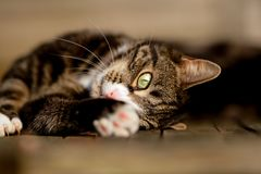 Tabby and White Cat Lying Sideways Stretching Paw royalty free stock images