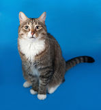 Tabby and white cat with sick eyes sitting on blue Stock Photos