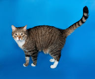 Tabby and white cat with sick eyes standing on blue Stock Image