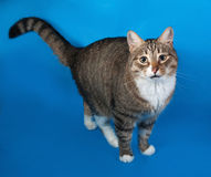 Tabby and white cat with sick eyes standing on blue Stock Photos