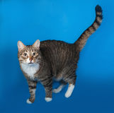 Tabby and white cat with sick eyes standing on blue Royalty Free Stock Photo