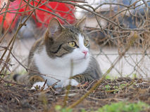 Tabby and white cat Royalty Free Stock Photos