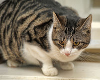 Tabby with white cat Stock Photography