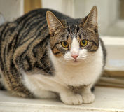 Tabby with white cat. Tubby tabby with white cat Royalty Free Stock Image