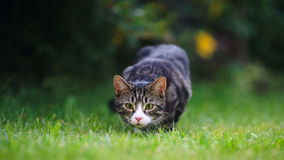 Tabby and White Kitten Pouncing. A seven month old tabby and white kitten faces the camera preparing to pounce in a garden setting Royalty Free Stock Photography