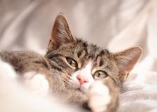 Tabby and White Kitten on White Satin Stock Photo