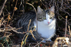 Tabby young cat lurks well hidden in a hiding place Royalty Free Stock Images