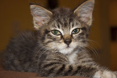 Tabby. Young tabby kitten posing on pillow stock photos