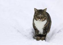 Tabbykatt i Snow Arkivbilder