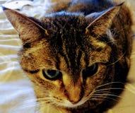 Tabbykatt som ser kameran Royaltyfria Foton