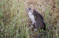 Tabbykatt som ser kameran Royaltyfri Foto