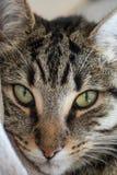 Tabbykatt som ser kameran Royaltyfri Fotografi