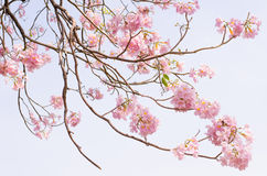 A Tabebuia Royalty Free Stock Photos